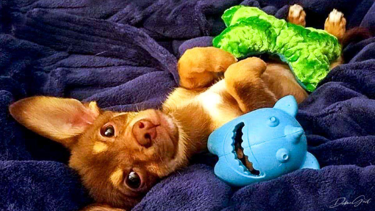 cute dog chihuahua debra gail photography