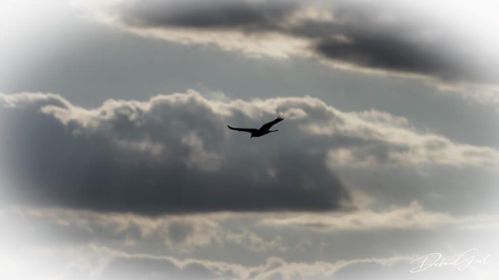 turkey vulture sunset
