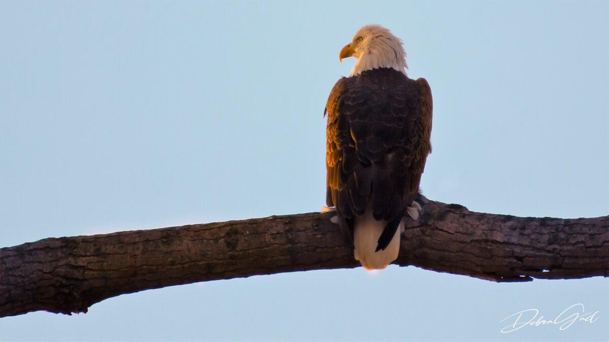 bald eagle at sunrise