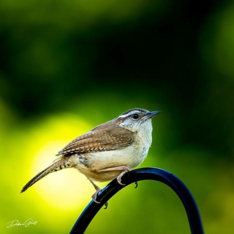5 midwest birds - carolina wren