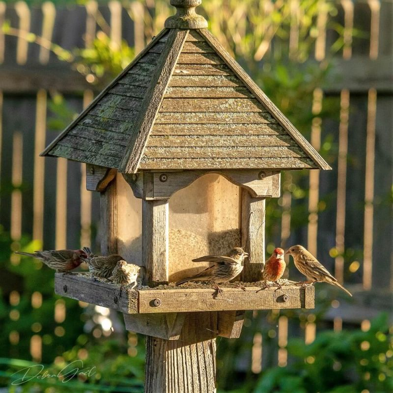 5 midwest birds - house finches