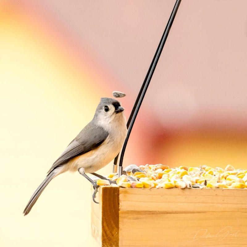 5 midwest birds - tufted titmouse