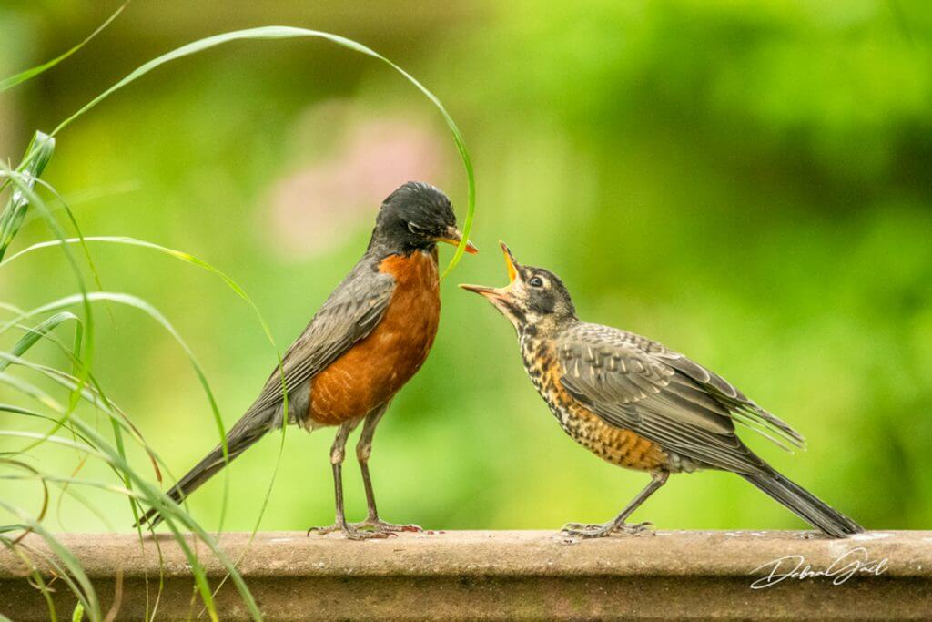 juvenile robin being fed