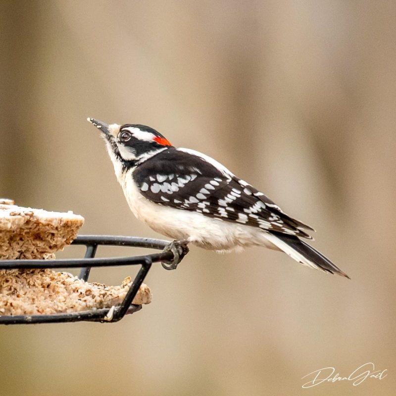 5 midwest birds debra gail photography