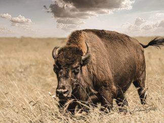 bison wall art debra gail