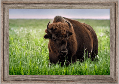 wholesale - retail ranch collections canvas bison wall art print barnwood frame tallgrass bison print wall art debra gail photography