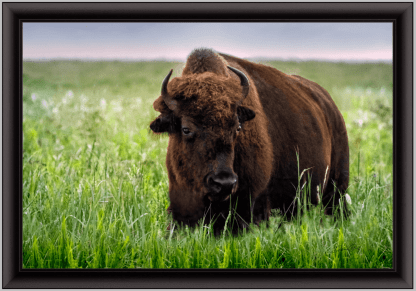 black frame tallgrass bison print wall art debra gail photography