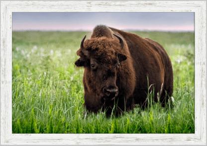 white barnwood frame tallgrass bison print wall art debra gail photography