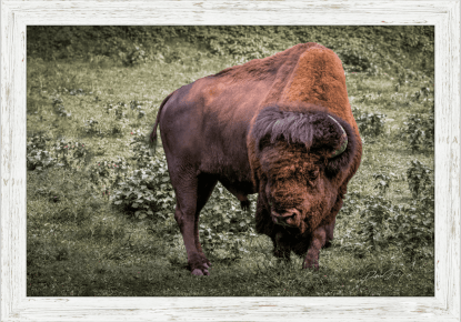 Spiritual Buffalo Print Wall Art: Wholesale Ranch Collections, Authentic American Bison Decor