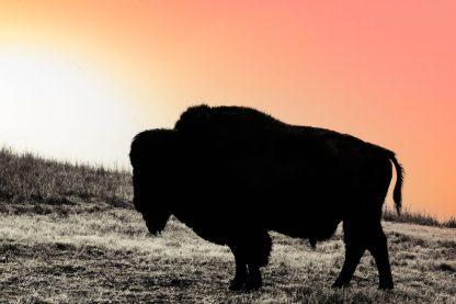 Bison Buffalo Sunset Wall Art Ranch collections Kansas debra gail