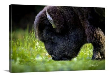 American Bison on the Plains Wall Art No. 9568