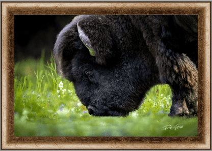 beautiful framed American Bison or Buffalo wall art oversized canvas on the Plains Wall Art No. 9568