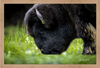 framed American Bison or Buffalo wall art oversized canvas on the Plains Wall Art No. 9568