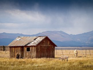 Spiritual White Bison and Barn Wall Art No. 10865, Wholesale and Retail Ranch Collections, Authentic American Bison Decor