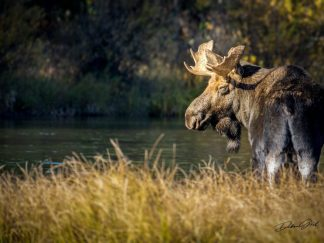 large Moose wall art debra gail