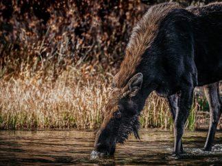 rustic moose wall art decor debra gail photography