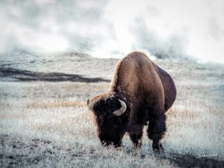the best American Bison Print in Yellowstone Wall Art debra gail photography