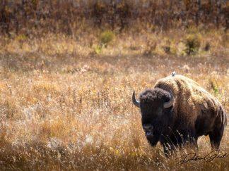 print yellowstone national park wall art print bison
