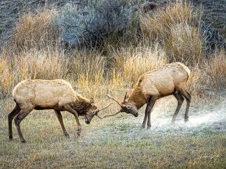 Two Young Elk Practice Battle Skills in Montana debra gail